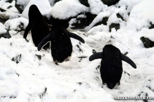 antarctica_penguins_064