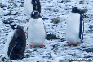 antarctica_penguins_206