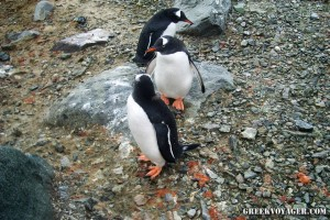 antarctica_penguins_237